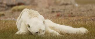 Oamenii de stiinta avertizeaza: Ursii polari sunt pe cale de disparitie (Video)