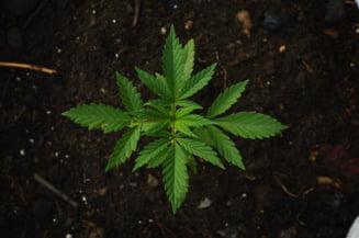 Odata cu alegerile prezidentiale, americanii din mai multe state au adoptat legalizarea marijuanei
