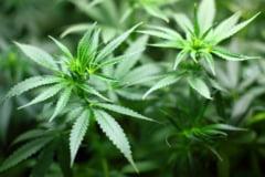 Olanda legalizeaza si cultivarea marijuanei