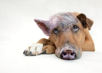 Opozitia cere ancheta in cazul crizei pestei porcine: Dragnea, Dancila, Daea si slugile lor trebuie sa raspunda!