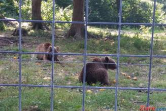 Opt ursi, vazuti in statiunile de pe Valea Prahovei. Jandarmii au fost chemati sa intervina