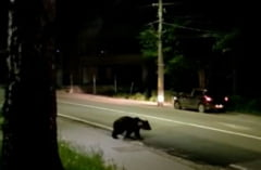 Opt ursi au fost alungati de jandarmii din Harghita dintr-o zona locuita VIDEO