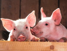 Organizatiile de mediu avertizeaza: Masurile propuse pentru combaterea pestei porcine pot crea un dezastru ecologic. Ar fi cea mai mare si mai grava eroare
