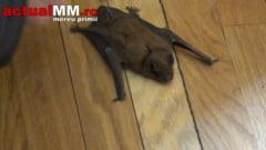 PREFECTUL, MAI TARE CA LILIACUL! - Nemuritoarele povesti spuse de Anton Rohian despre salvarea satului maramuresean, au adormit mamiferul (VIDEO)