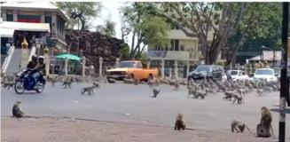 Pandemia de coronavirus face victime si printre animale. Maimutele din Thailanda nu inteleg de ce nu le mai hraneste nimeni (Video)
