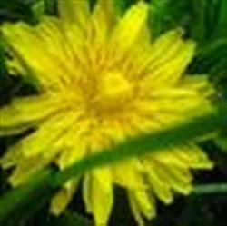 Papadia, planta cu cel mai puternic efect detoxifiant