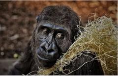 Parcurile nationale in care traiesc gorile se inchid unul dupa altul. Iata si explicatia