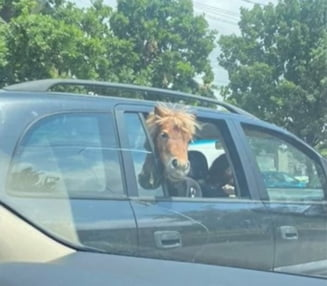 Pasager-surpriza: Un ponei a fost plimbat cu masina prin Iasi VIDEO