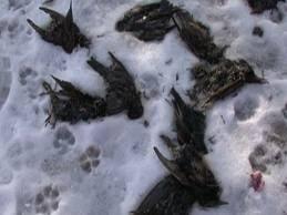Pasari moarte gasite si in Bucuresti, autoritatile le strang de pe strada