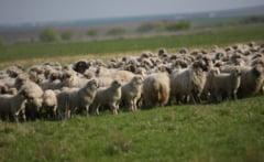 "Patru miei gemeni din rasa ""Cap negru de Teleorman"", in gospodaria unui cioban"