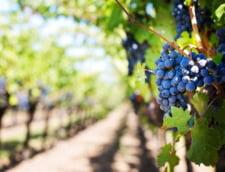 Pentru a-l ajuta la plantatia de vita de vie, un viticultor din Italia a zburat un grup de romance cu un avion privat