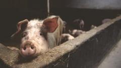 Penurie de carne de porc in China: Romania ar putea profita, dar sta pe bara pentru ca nu are incotro