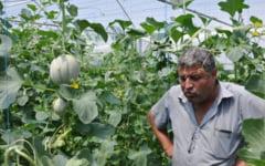 Pepeni galbeni, crescuti pe araci in serele unui agricultor din Baragan