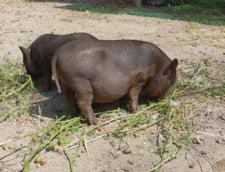 Pesta porcina, confirmata si la Sf. Gheorghe