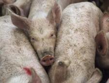 Pesta porcina a ajuns in Giurgiu. In total, sunt focare in 12 judete