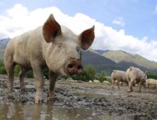 Pesta porcina a ajuns si in judetul Dambovita. A fost confirmat primul caz