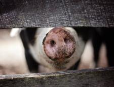 Pesta porcina a fost confirmata in 10 judete. 117.000 de porci au fost ucisi
