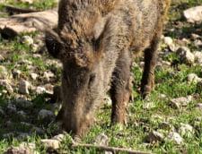 Pesta porcina a reaparut in Vrancea, dupa ce judetul abia inchisese toate focarele