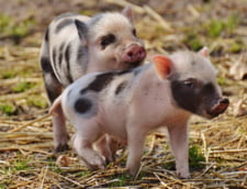 Pesta porcina africana a ajuns in Europa Occidentala