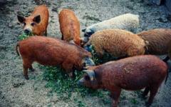 Pesta porcina africana a lovit si singura crescatorie de porci Mangalita din judetul Braila. Toate animalele, omorate