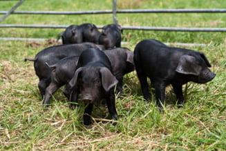 Pesta porcina africana da tarcoale Romaniei. ANSVSA a emis o alerta