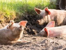 Pesta porcina confirmata in Dambovita. Au fost ucisi porcii din gospodaria afectata