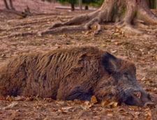Pesta porcina confirmata si in Botosani, aproape de granita cu Ucraina. Sacrificarea e interzisa!