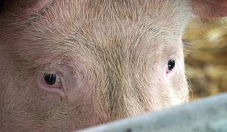 Pesta porcina face ravagii: Medicii veterinari au cerut repetat sa se faca controale. Raspunsul incredibil dat de ANSVSA