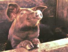 Pesta porcina face ravagii in Romania, dar ce efect are asupra omului? Specialistii au un motiv pentru care sa n-o recomande