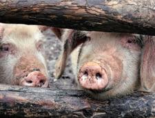 Pesta porcina se extinde: Gospodarii din Buzau, sub supraveghere. Politia a inceput o ancheta