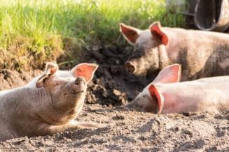 Pesta revine: Peste 3.000 de porci, sacrificati in Teleorman. Taranii acuza autoritatile ca omoara doar porcii sanatosi, nu si mistertii bolnavi