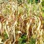 Peste 10 000 de hectare afectate de seceta, la nivelul judetului Dambovita