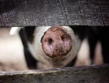 Peste 260 de focare de pesta porcina in Romania. In ultima saptamana au aparut 11 focare noi