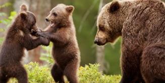 Peste 330 de apeluri la 112 din cauza ursilor, de la inceputul anului, in Harghita