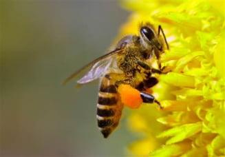 Pesticidele distrug coloniile de albine - studiu