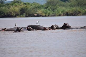 Pestii dintr-un rau mor pe capete, iar de vina sunt hipopotamii. Ii ucid fara sa vrea