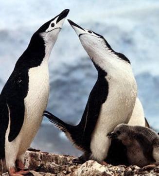 Pinguinii gay s-au despartit!