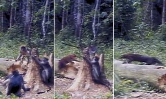 Pisica aurie africana, filmata pentru prima data la vanatoare (Foto & Video)