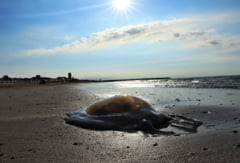 Plaja din Mamaia Nord, invadată de meduze. Turiștii și localnicii sunt nemulțumiți că autoritățile nu iau măsuri