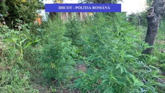 Plantatie de cannabis descoperita din greseala, la locuinta unui barbat cautat cu mandat european pentru alte infractiuni