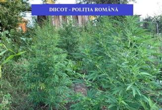 Plantatii de cannabis in valoare de 500.000 de euro si alte droguri, gasite de DIICOT in gospodariile unor valceni