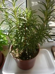 Plante vindecatoare crescute in casa