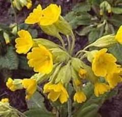 Plantele medicinale ale lunii martie - ciubotica-cucului si salcia
