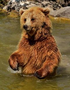 Politia: Daca poti sa-ti faci un selfie cu ursul, pe Transfagarasan, atunci esti prea aproape de el, deci in pericol