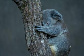 Populatia de koala din statul australian New South Wales, pe cale de disparitie