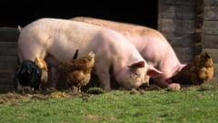 Porci infectați cu pestă africană în București. Primarul Ciucu anunță ce măsuri vor fi luate
