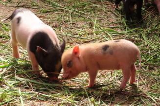 Porcii au fost observati, in premiera, folosind ustensile
