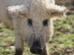Porcii cu lana de oaie, care au fost aproape de extinctie, fac senzatie pe Internet (Galerie foto)