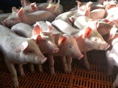 Porcii danezi ar putea ajunge in Romania