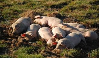 Porcii domestici crescuti in libertate pot face prapad; ce le solicita aradenilor inspectorii DSVSA